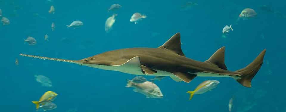 Grootste vissen ter wereld: Langkamzaagvis