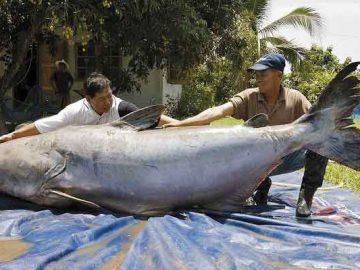 grootste dieren ter wereld: belugasteur