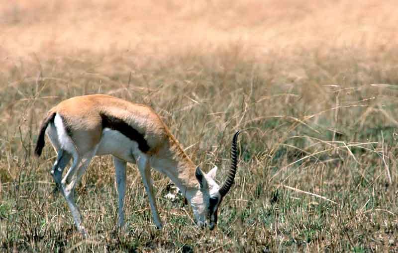 Thomsongazelle snelle dieren