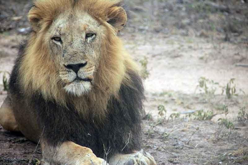 Leeuw is een van de snelste dieren ter wereld