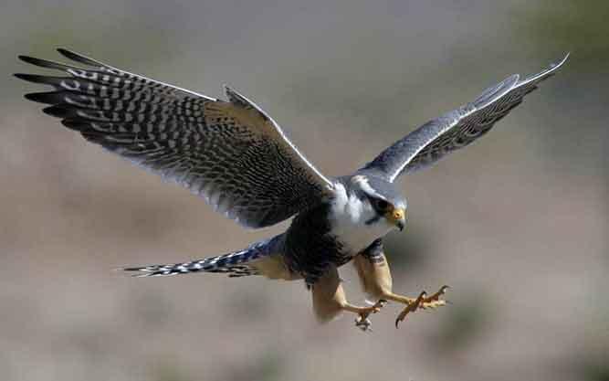 De snelste roofvogel ter wereld: de Slechtvogel