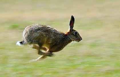 De haas is een van de snelste dieren