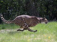 10 snelste dieren ter wereld